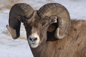 Big-sheep-horn-goat a.k.a. Ram